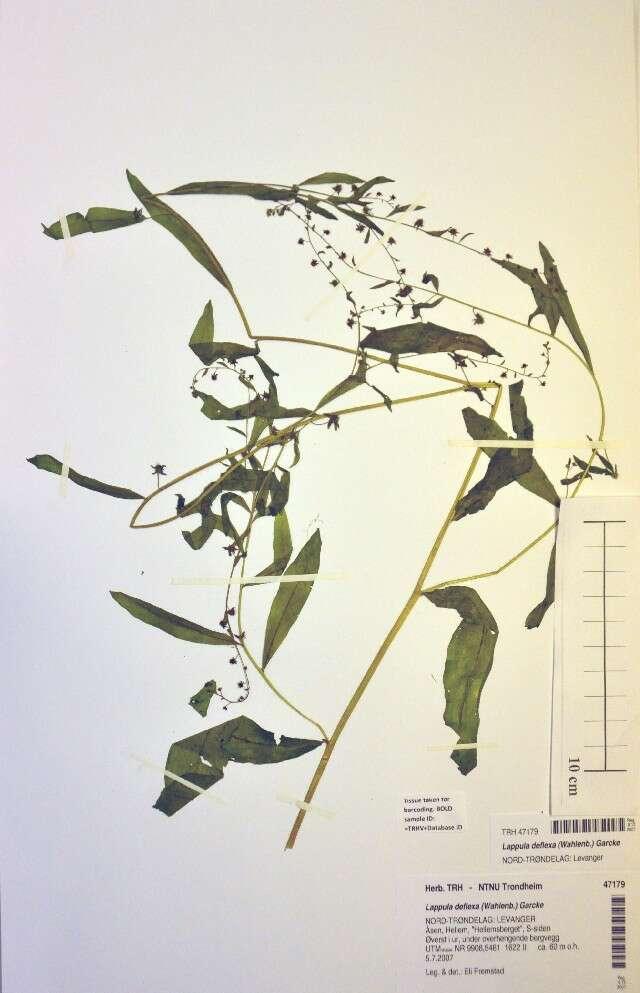 Image of nodding stickseed