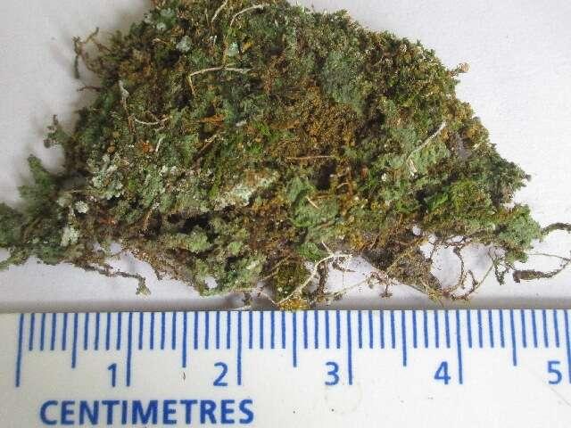 Image of Nucletmycea