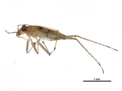 Image of Mesovelioidea
