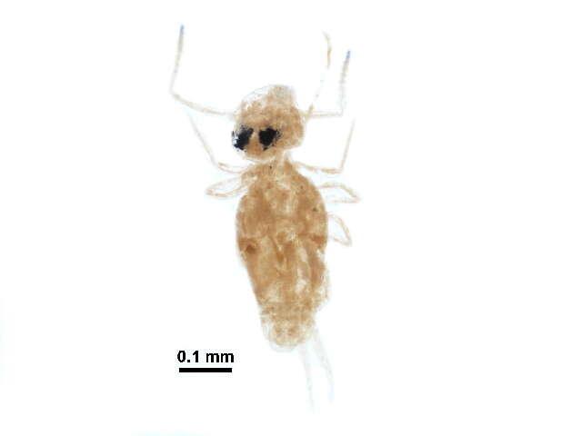 Image of Symphypleona