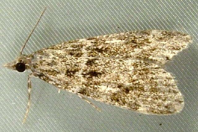 Image of <i>Eudonia echo</i> Dyar 1928