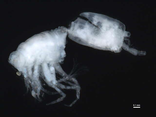 Image of hooded shrimp