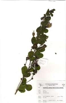 Image of <i>Otholobium caffrum</i> (Eckl. & Zeyh.) C. H. Stirt.