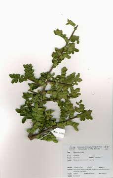 صورة Sapindaceae