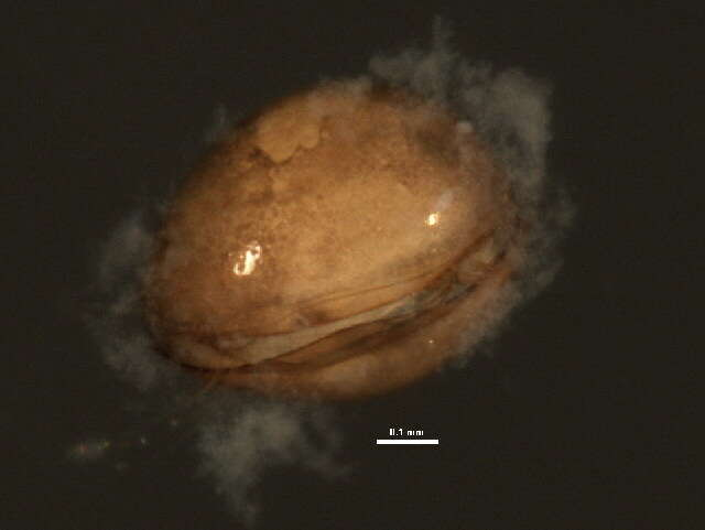 Image of Cyclocypris