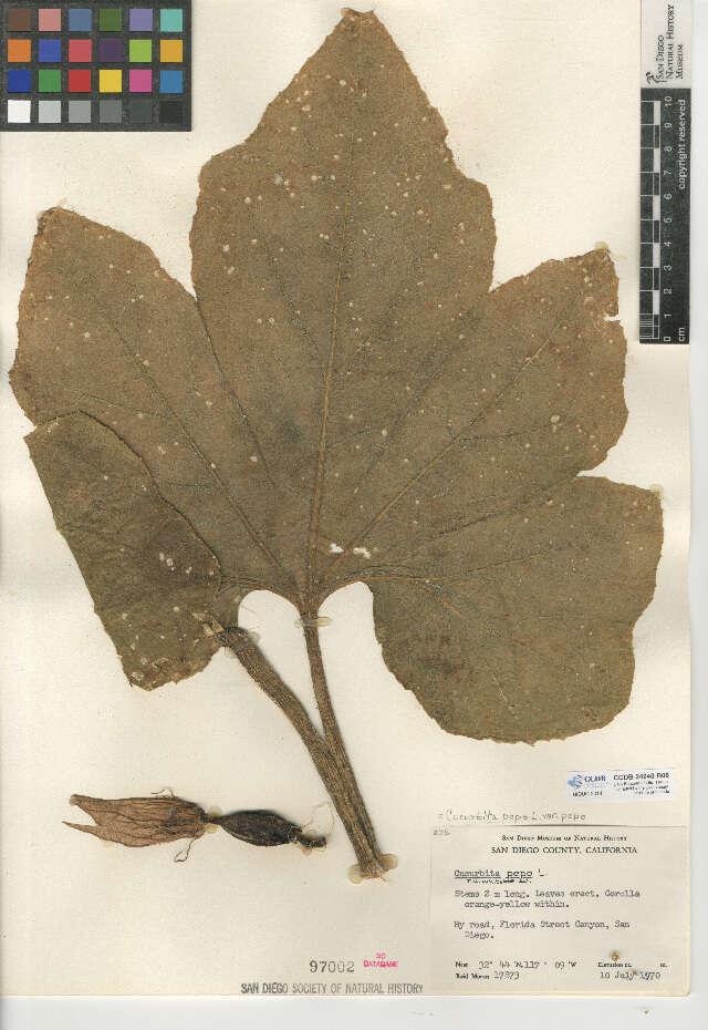 Image of Cucurbitales