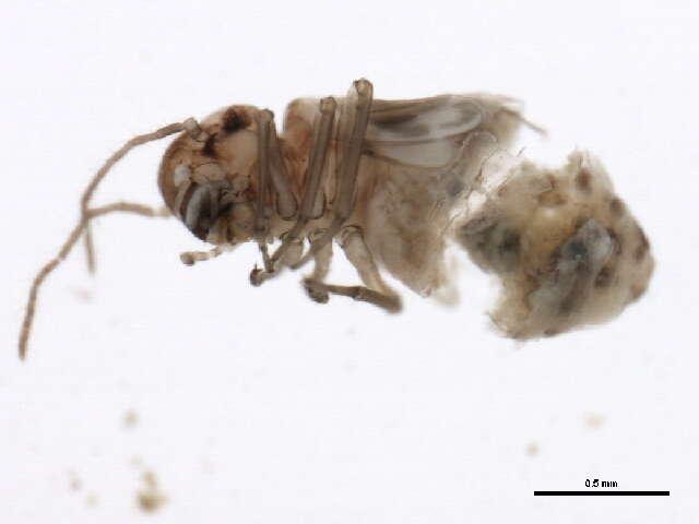 Image of <i>Peripsocus subfasciatus</i> (Rambur 1842)