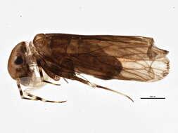 Image of Amphientomoidea