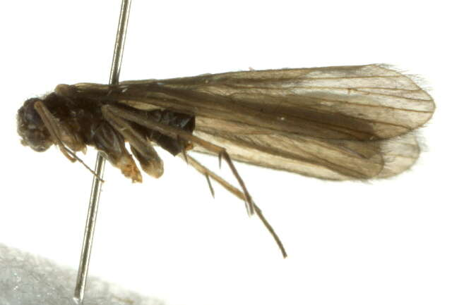 Image of Annulipalpia
