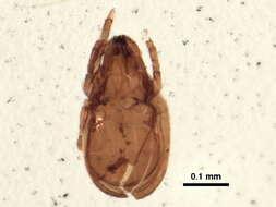 Image of Oripodoidea