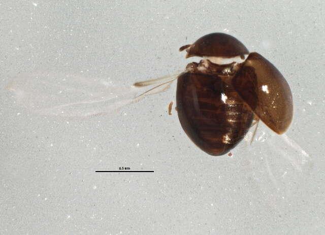 Image of Coccinelloidea