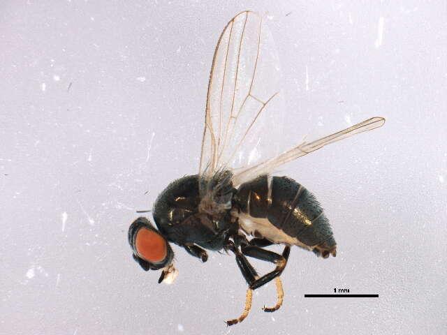 Image of Lauxanioidea