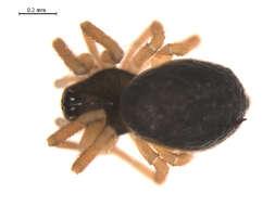 Image of Tmeticus