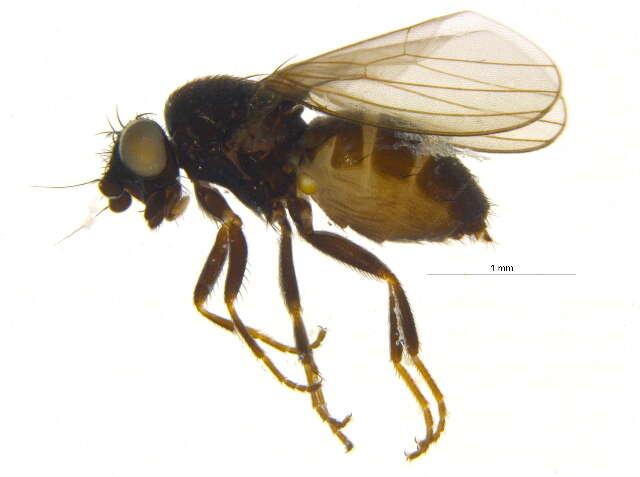 Image of Carnoidea