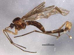 Image of Bibionomorpha