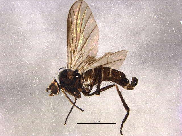 Image of Empidoidea