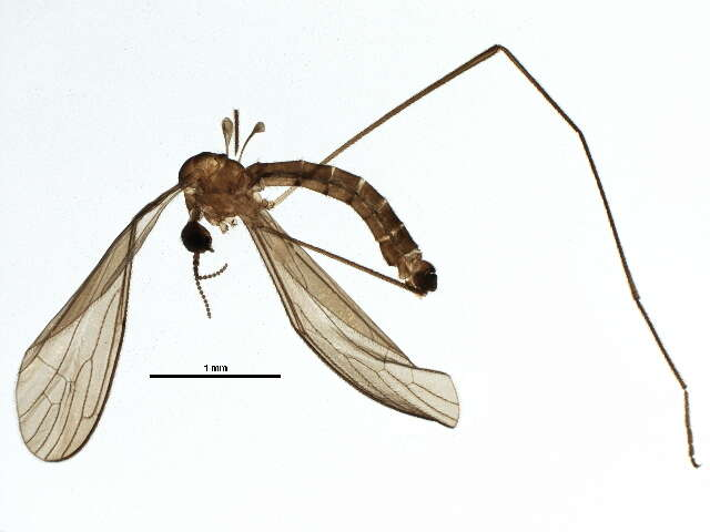 Image of Tipulomorpha