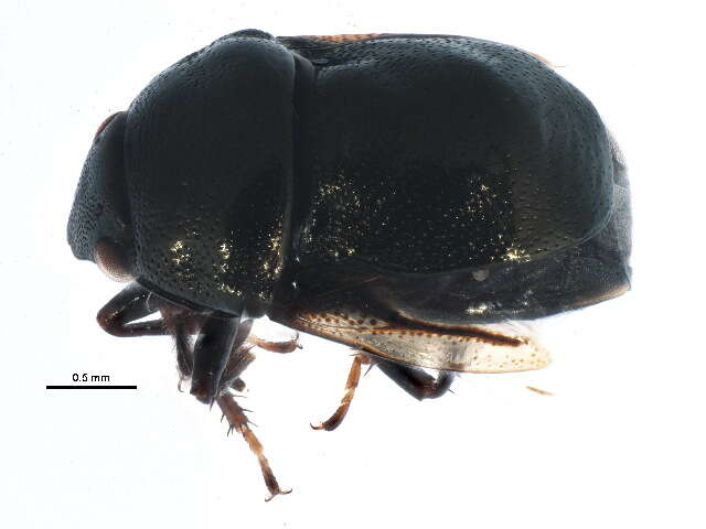 Image of ebony bugs