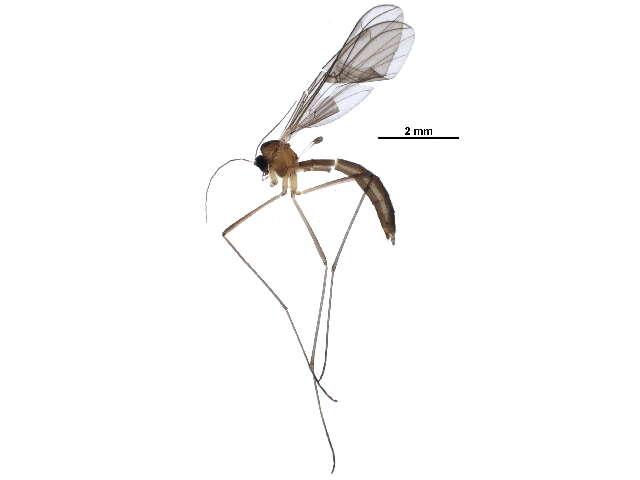 Image of Bolitophilidae