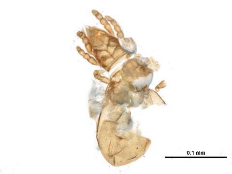 Image of Hypochthonioidea