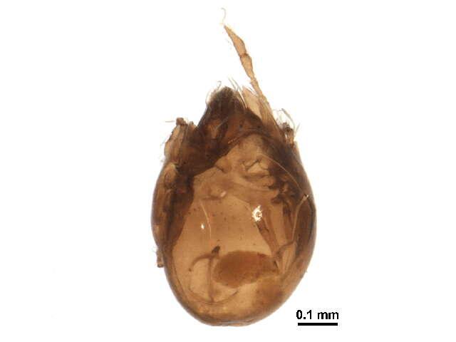 Image of Achipterioidea