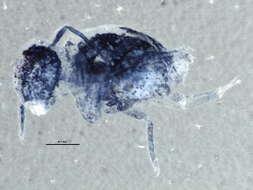 Image of Globular Springtails