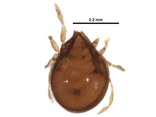 Image of Gustaviidae