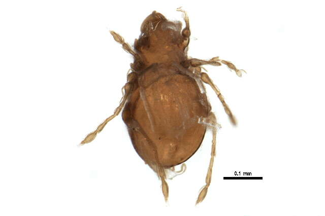 Image of Plateremaeoidea