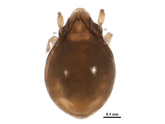 Image of Astegistidae