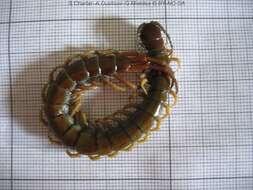 Image of myriapods