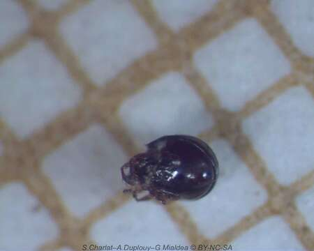 Image of Licneremaeoidea
