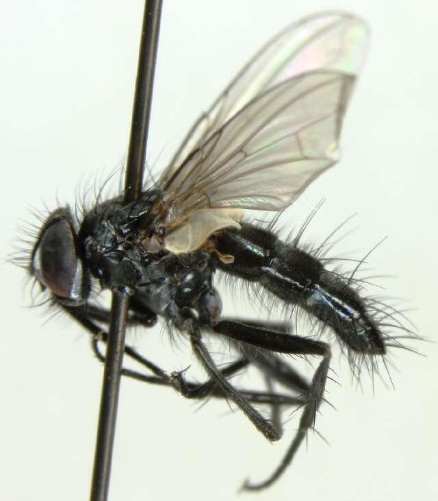 Image of Gastrolepta