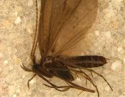 Image of Leptoceroidea