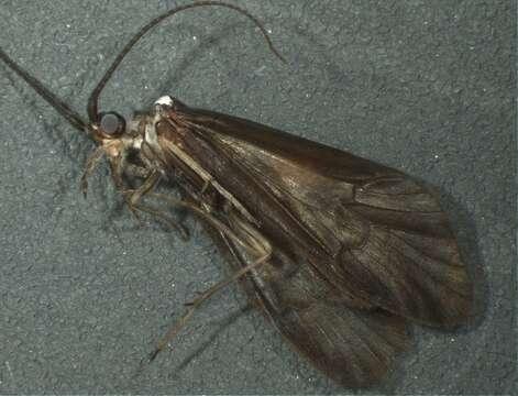 Image of Sericostomatoidea