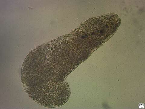 Image of flatworms