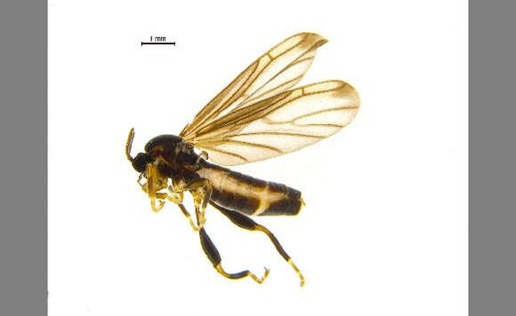Image of Canthyloscelidae