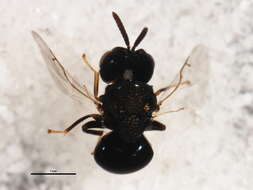 Image of wasps, bees, and ants