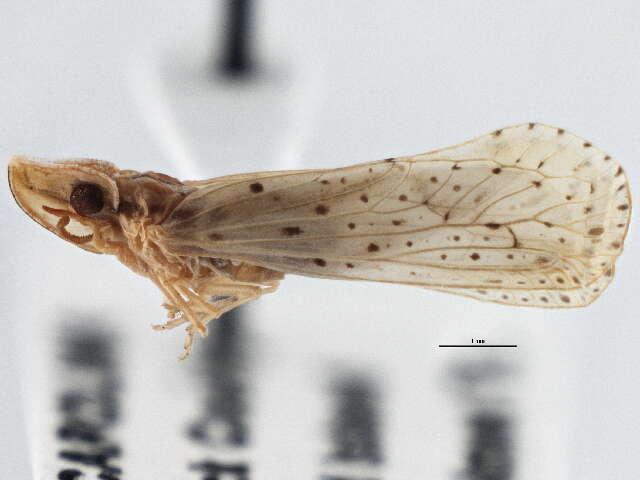 Image of derbid planthoppers