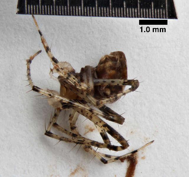 Image of Araneoidea