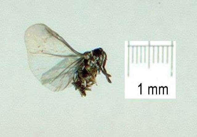 Image of Stylopidia