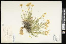 Image of mock goldenweed
