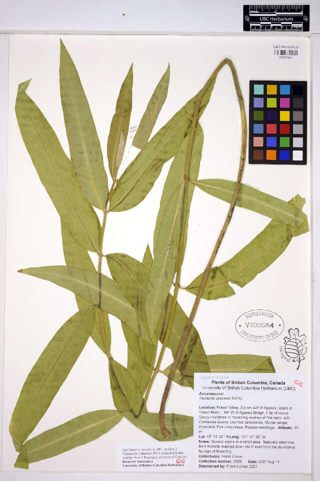 Image of Asclepias