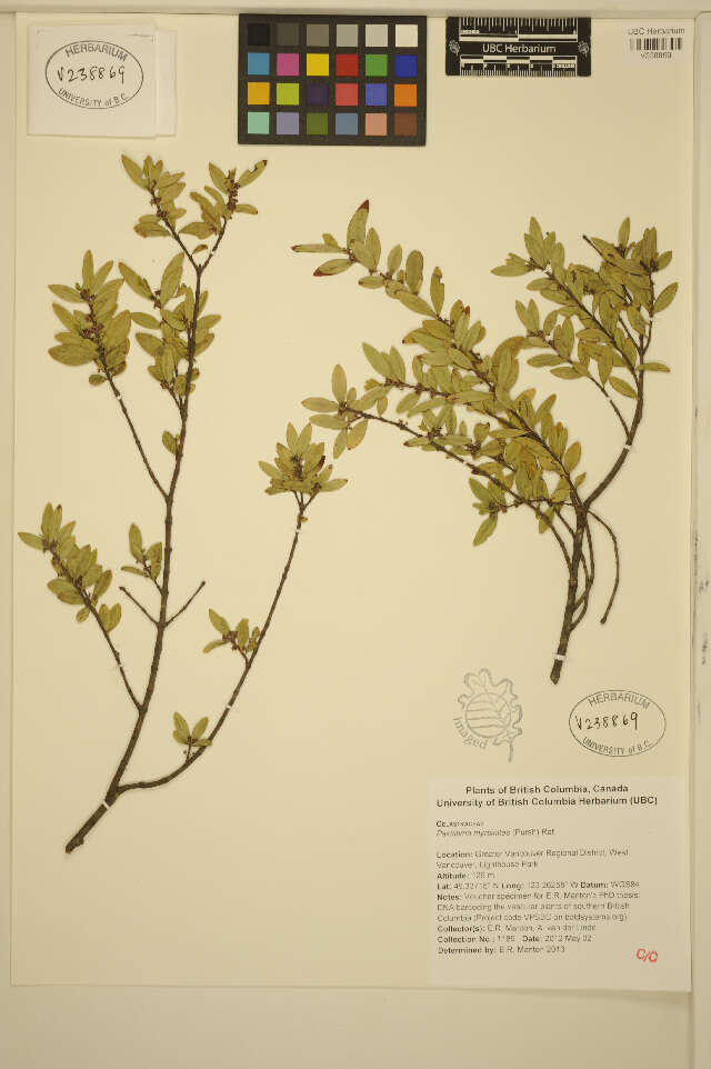 Image of Spindle tree order