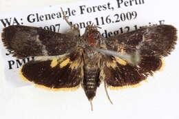 Image of Carpenter and Leopard Moths
