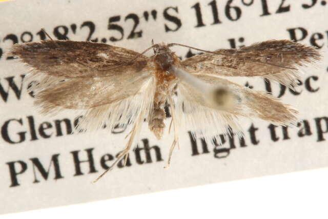 Image of Gracillarioidea