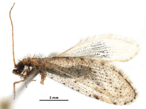Image of berothid clade