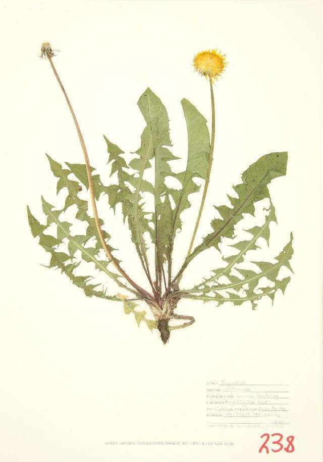 Image of daisy family