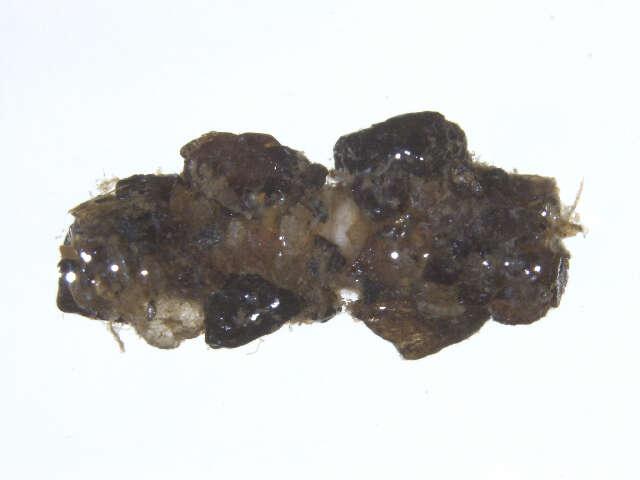 Image of Plenitentoria