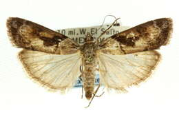 Image of crambid snout moths