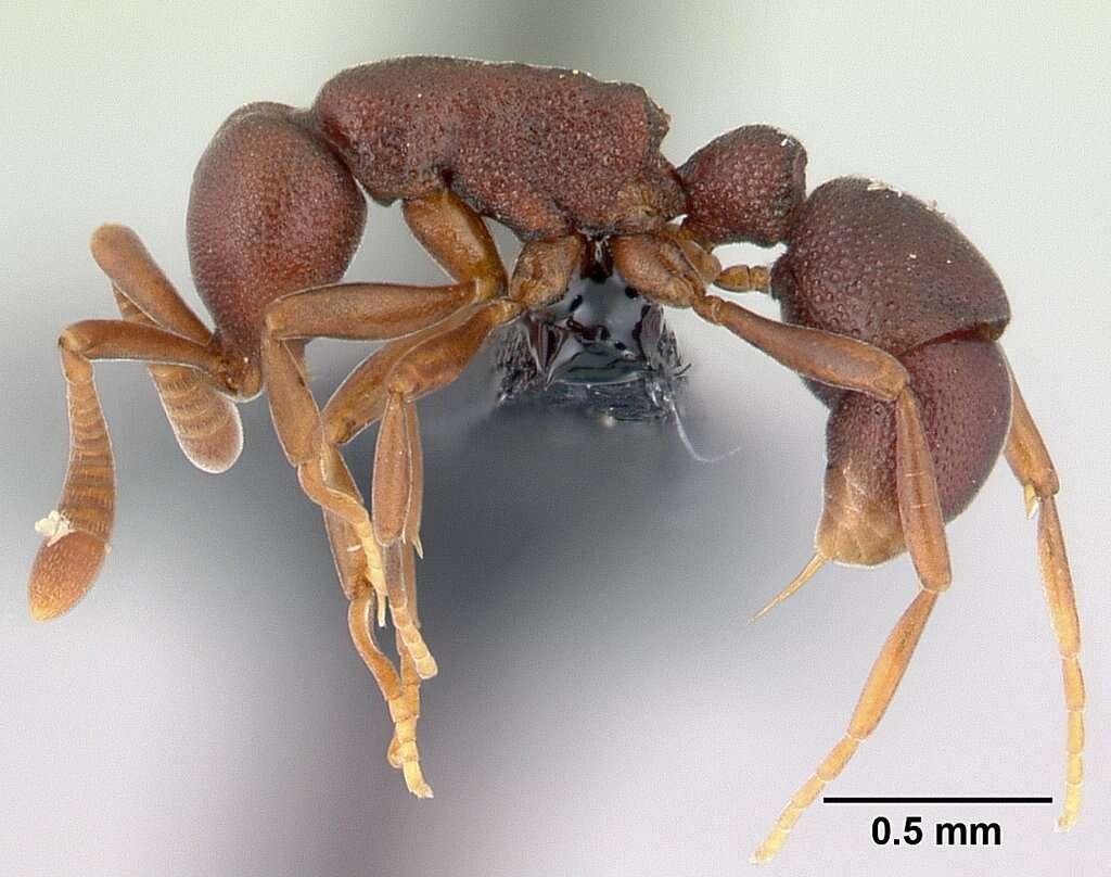 Image of <i>Probolomyrmex zahamena</i> Hita Garcia & Fisher 2014